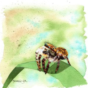 jumping spider, spider painting, watercolor spider, watercolour spider, spider artist, jumping spider